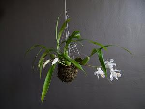 Kokedama Orquidea