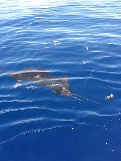 sailfish in water