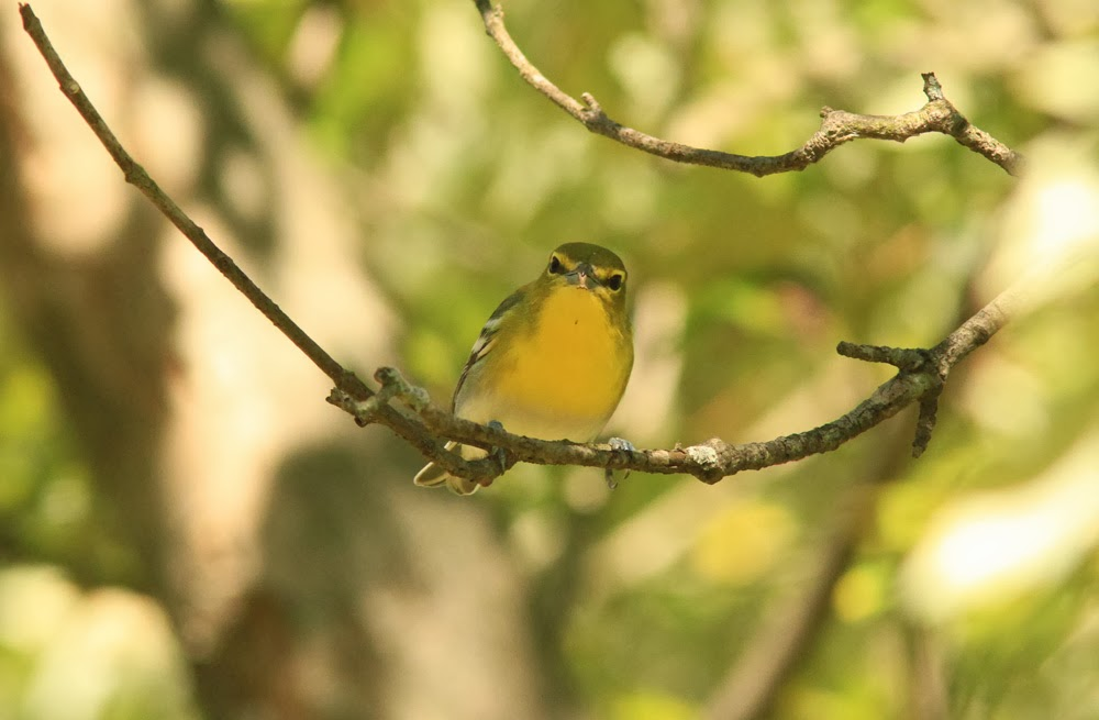 Yellow throated vireo fall - photo#18