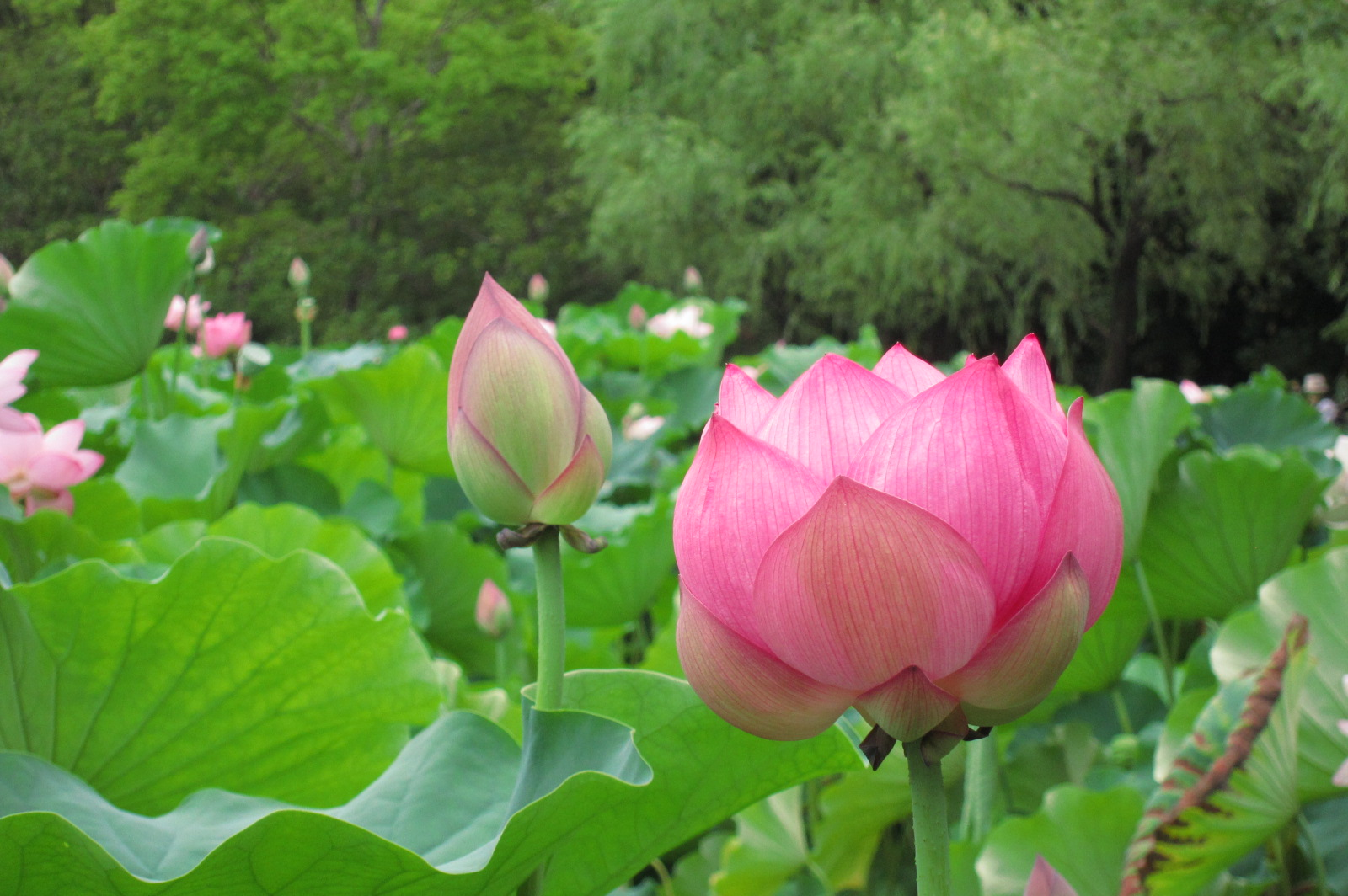 Round Of The Seasons In Japan Lotus Garden