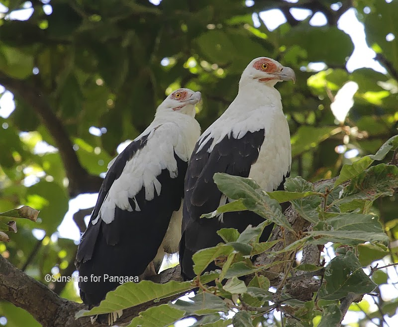 Palm-nut Vultures in Gambia