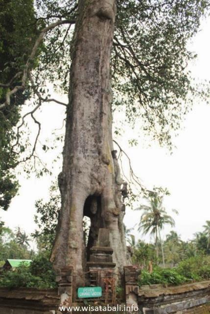 pohon unik di sangeh bali
