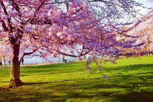 Cerezo totalmente florecido en parque con pasto verde.