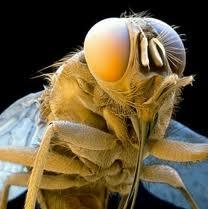 mosca tse-tse vector de la enfermedad del sueño, en esta imagen se ve claramente su probóscide