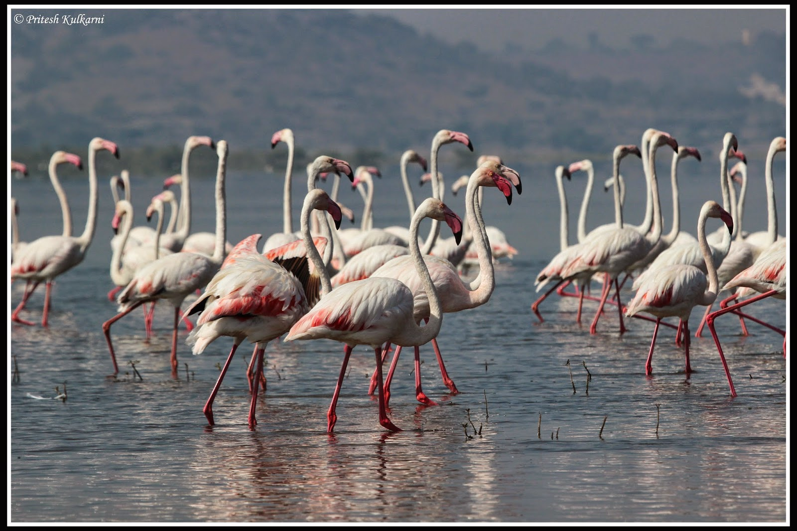 Greater Flamingo at Bhigwan