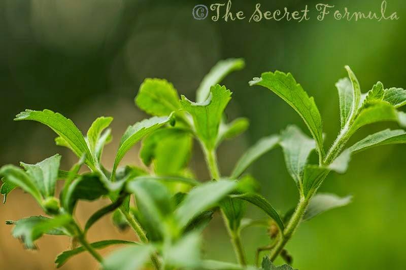 the secret formula stevia plant stevia rebaudiana. Black Bedroom Furniture Sets. Home Design Ideas
