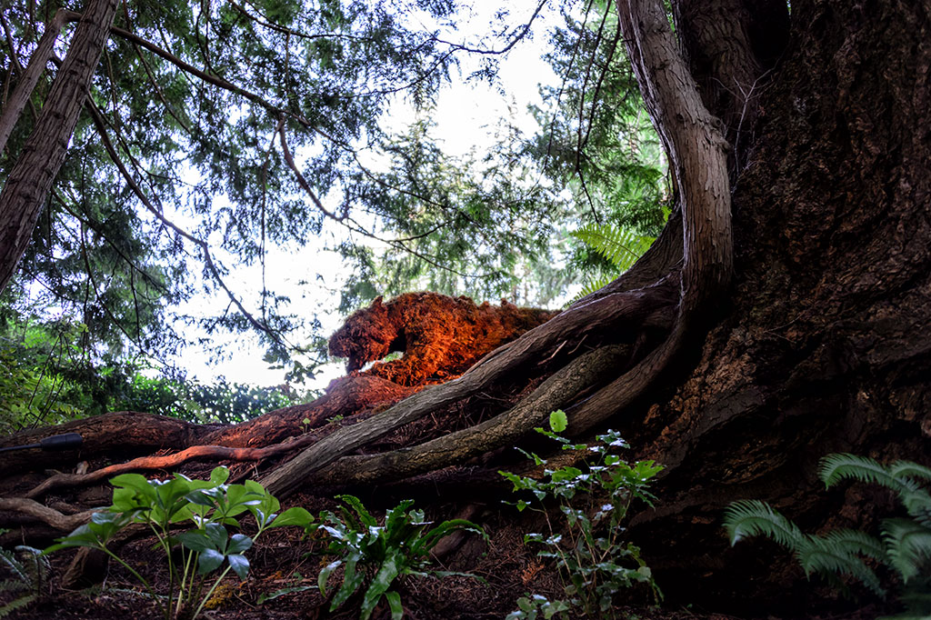Panther Hidden in the Shadows of The Butchart Gardens