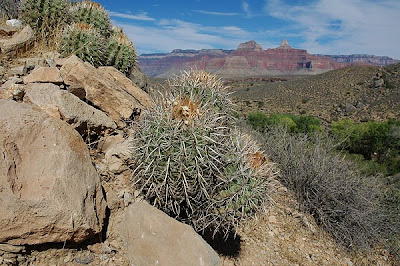 Echinocactus polycephalus (var. xeranthemoides) overlooking the Tonto Platform
