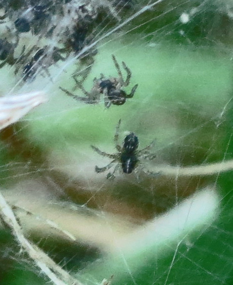 Close of one of the baby (Nursery-web?) spiders