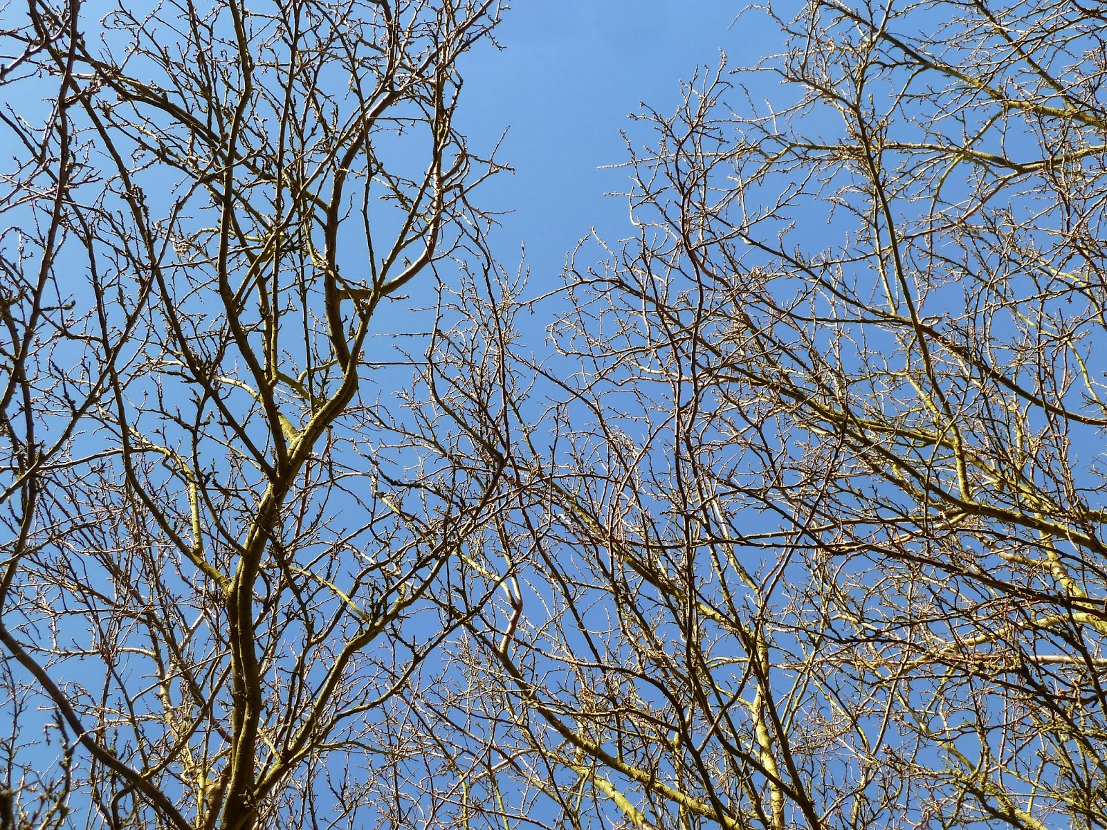 Plum tree branches against BLUE sky