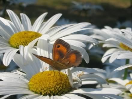 imágenes de mariposas en flores