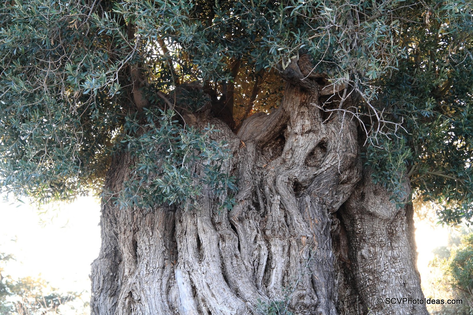3000 year old ancient Olive trunk details