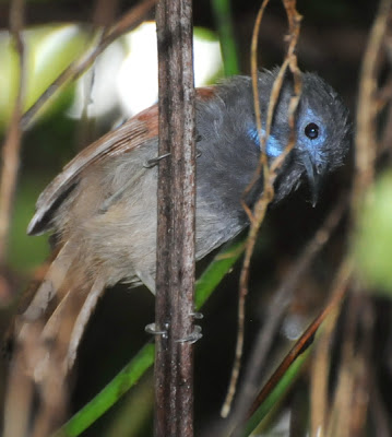 Chestnut-winged Babbler (Stachyris erythroptera)