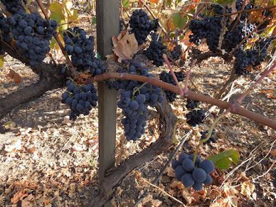 Ripe Grapes on the Vine at Peachy Canyon,  2013, ©B. Radisavljevic