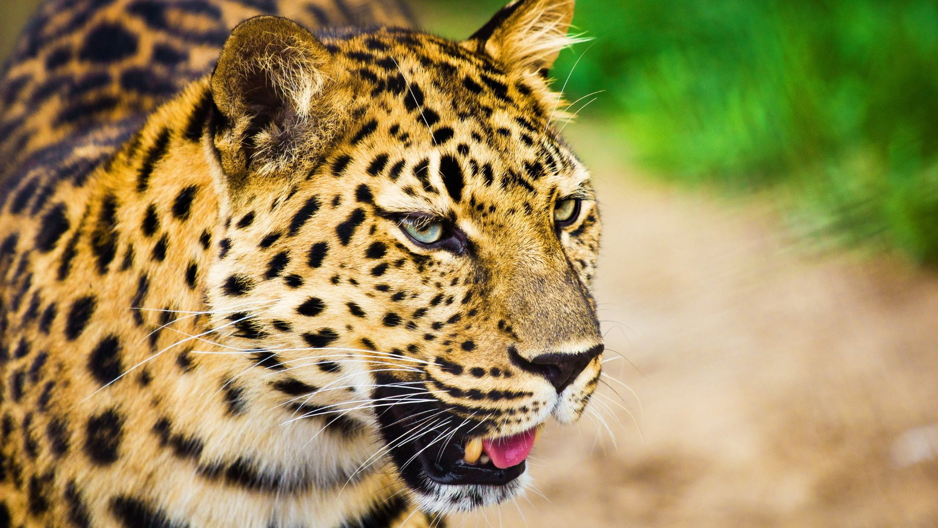 leopard wallpaper 1148113
