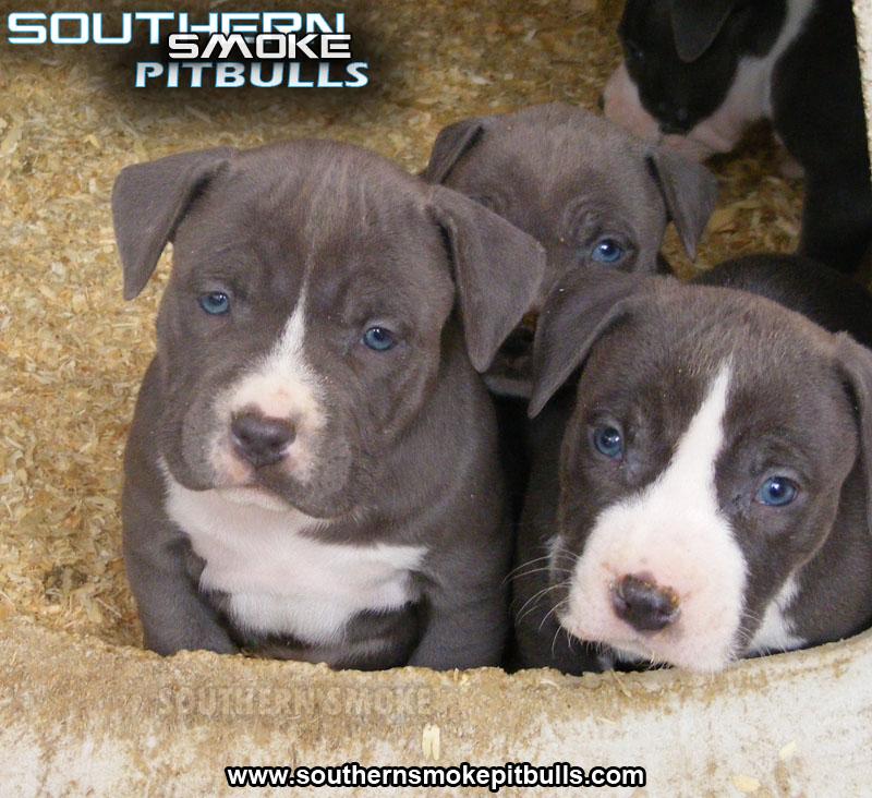American Pitbull Terrier: Pitbull Blue
