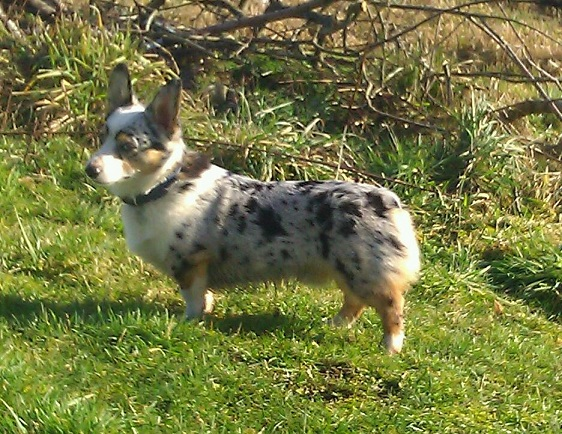 Corgi Australian Cattle Dog Mix For Sale