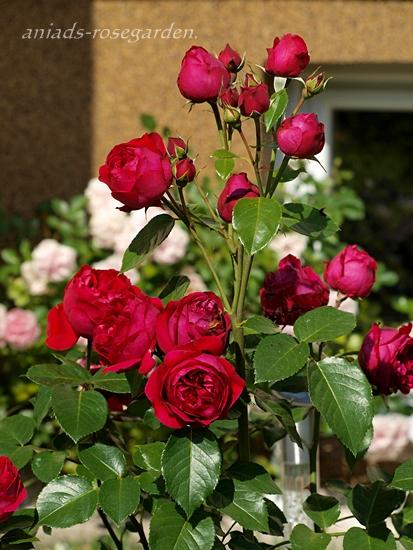zobacz temat red eden rose. Black Bedroom Furniture Sets. Home Design Ideas
