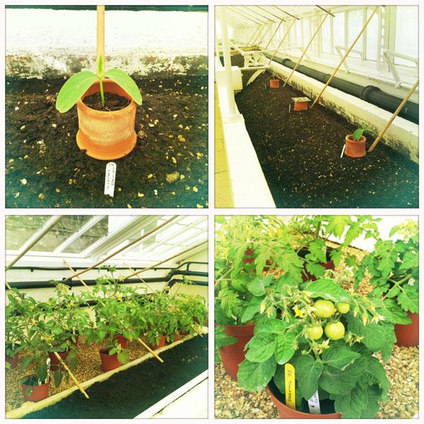 eva im garten lustvoll g rtnern gurken tomaten. Black Bedroom Furniture Sets. Home Design Ideas