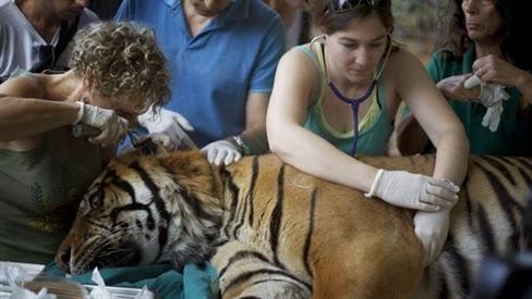 Châm cứu chữa viêm tai cho hổ