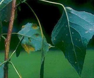 Pestisida atau Insektisida Alami Yang Aman Tanpa Racun