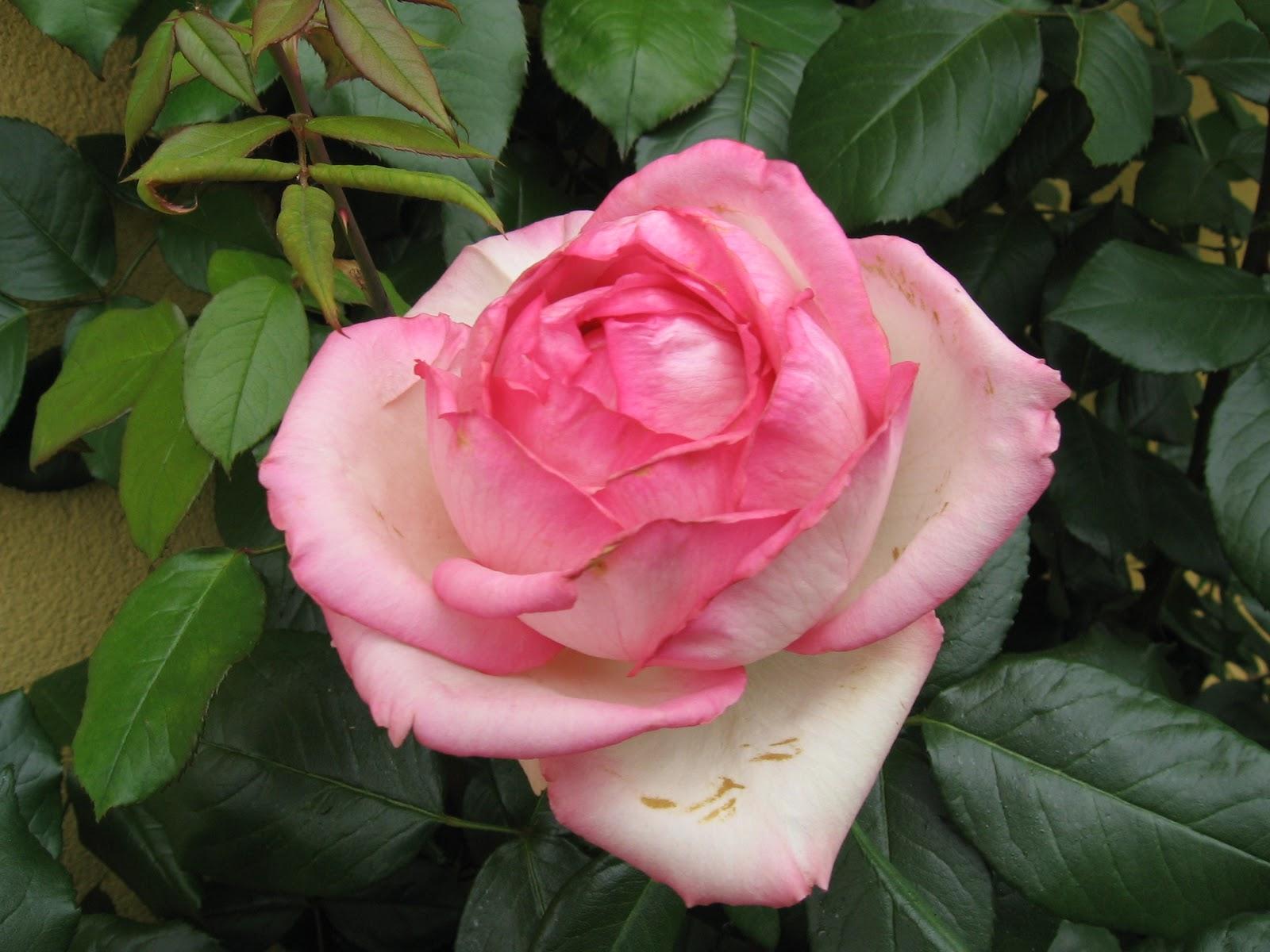 Роза оноре де бальзак фото 6