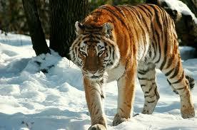 Harimau (Panthera Tigris)