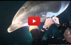 Golfinho 'pede' ajuda a mergulhador para se livrar de anzol e linha
