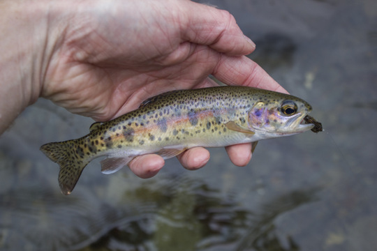 A brilliantly colored rainbow trout from Little River