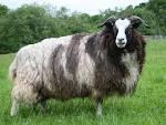 Cara budidaya ternak kambing