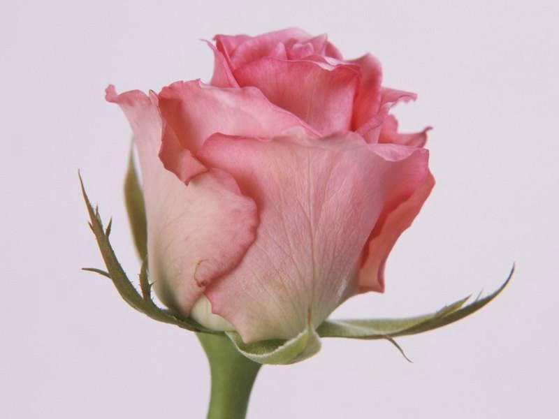 Lovely Pink Color Rose Flower Image Flowers Gift Online