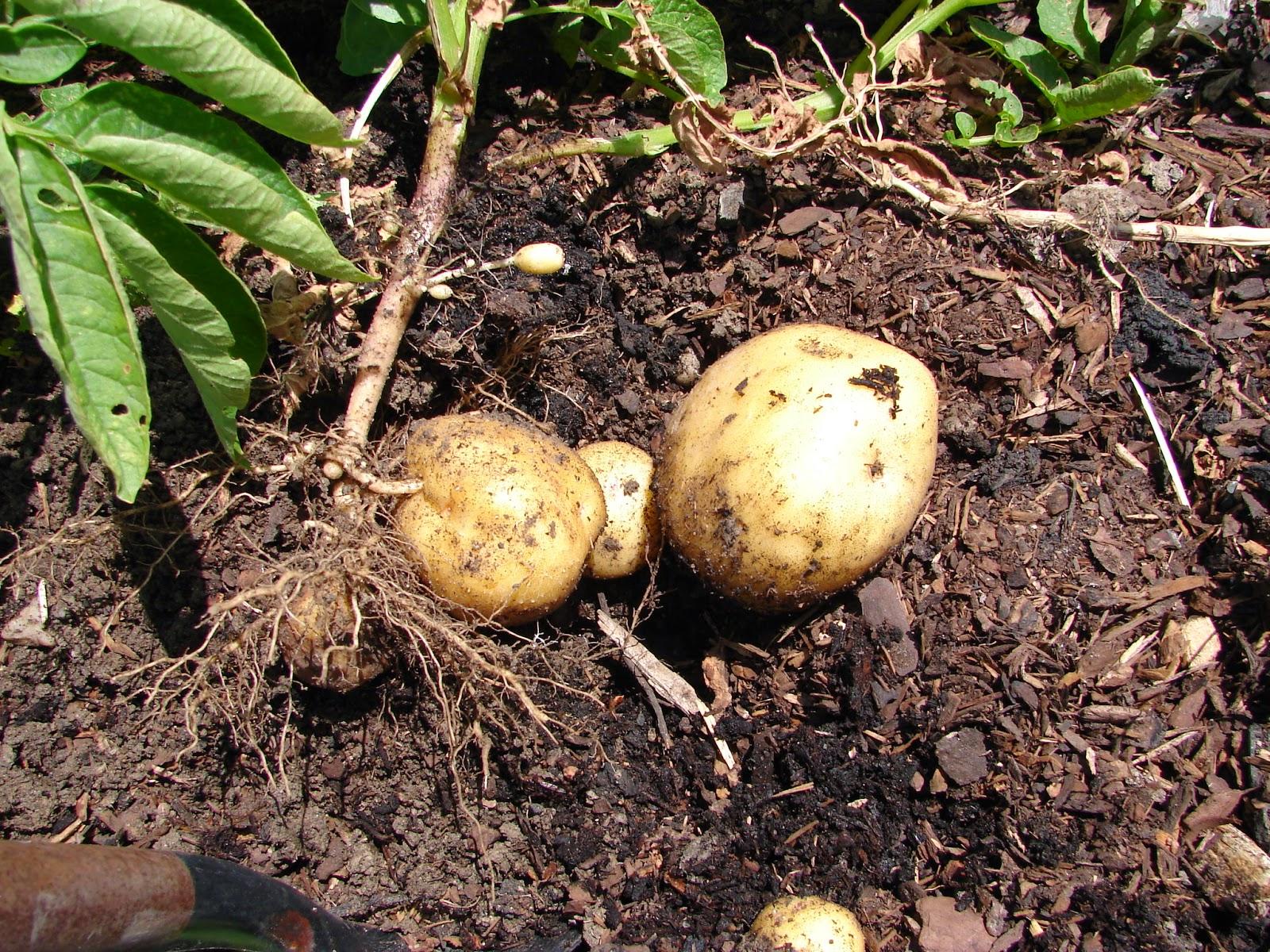 Harvesting Potatoes In Utah  Big Fun!