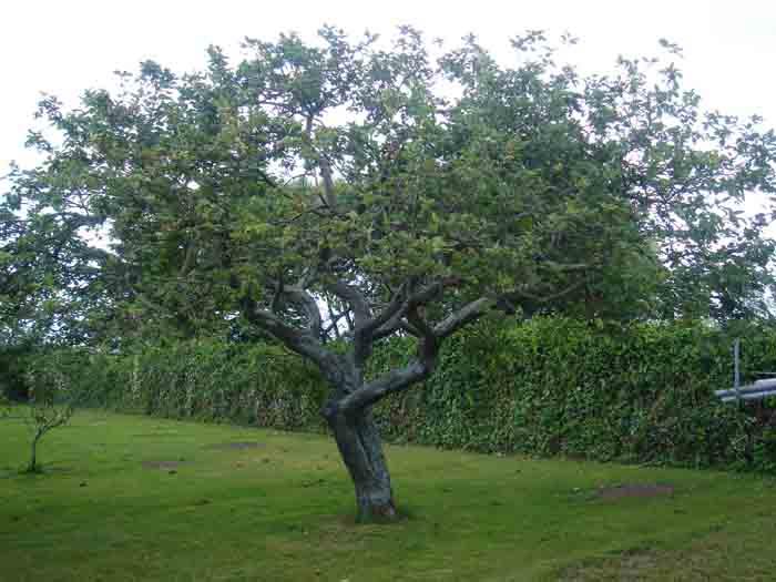 La diversidad de los seres vivos en asturias rboles for Arboles de hoja perenne sin fruto