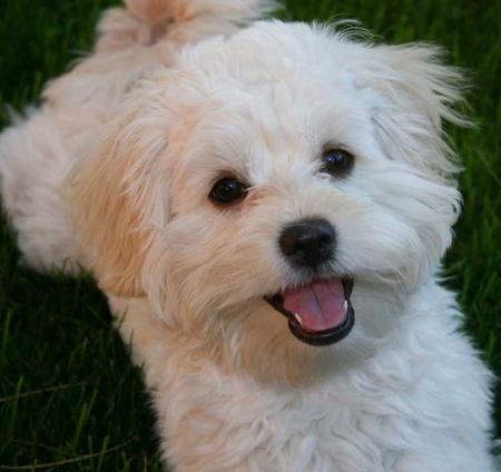 Barks and blooms shave and a haircuttoo much examples of single coated breeds are poodles shih tzus bichons etc winobraniefo Image collections