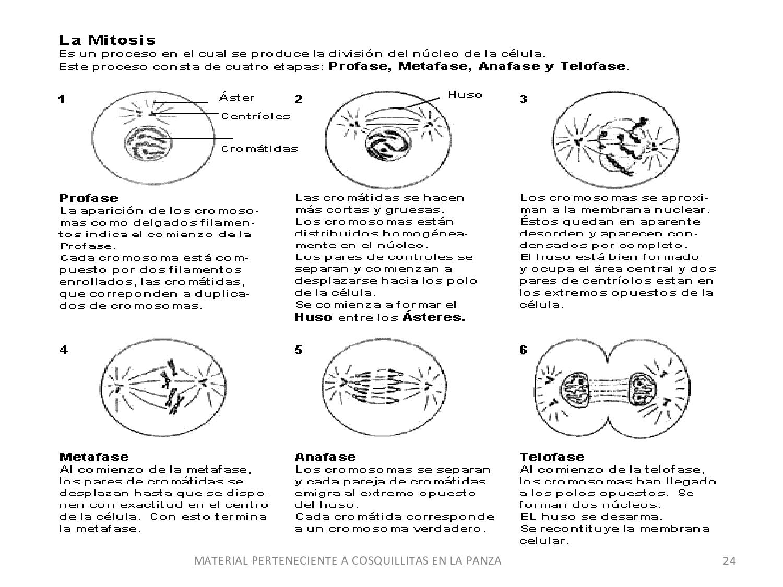 Contemporáneo Mitosis Para Colorear Regalo - Ideas Creativas para ...