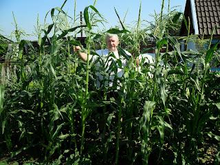 Выбираю семенную кукурузу