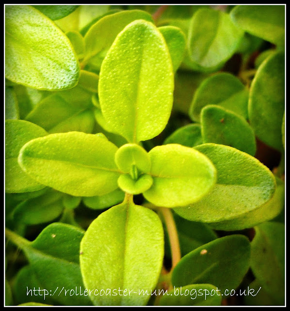 thyme leaf