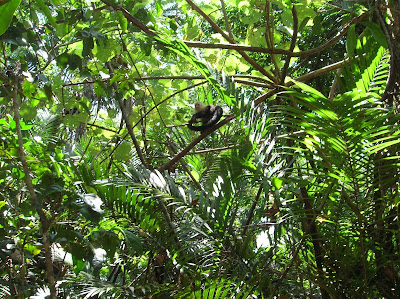 Mono carablanca Parque Nacional Manuel Antonio,Costa Rica, vuelta al mundo, round the world, La vuelta al mundo de Asun y Ricardo, mundoporlibre.com