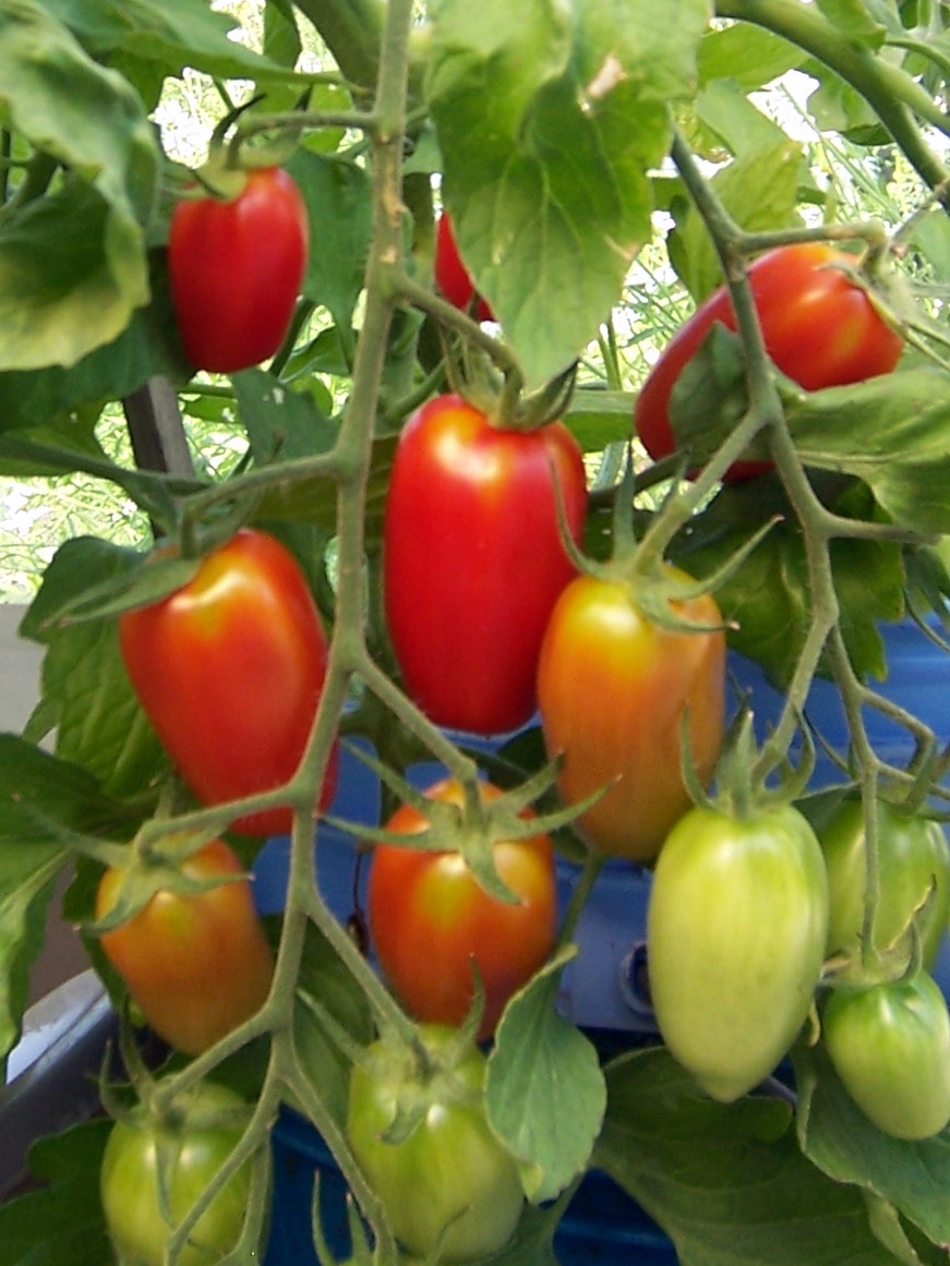 Pollinate Tomatoes + video