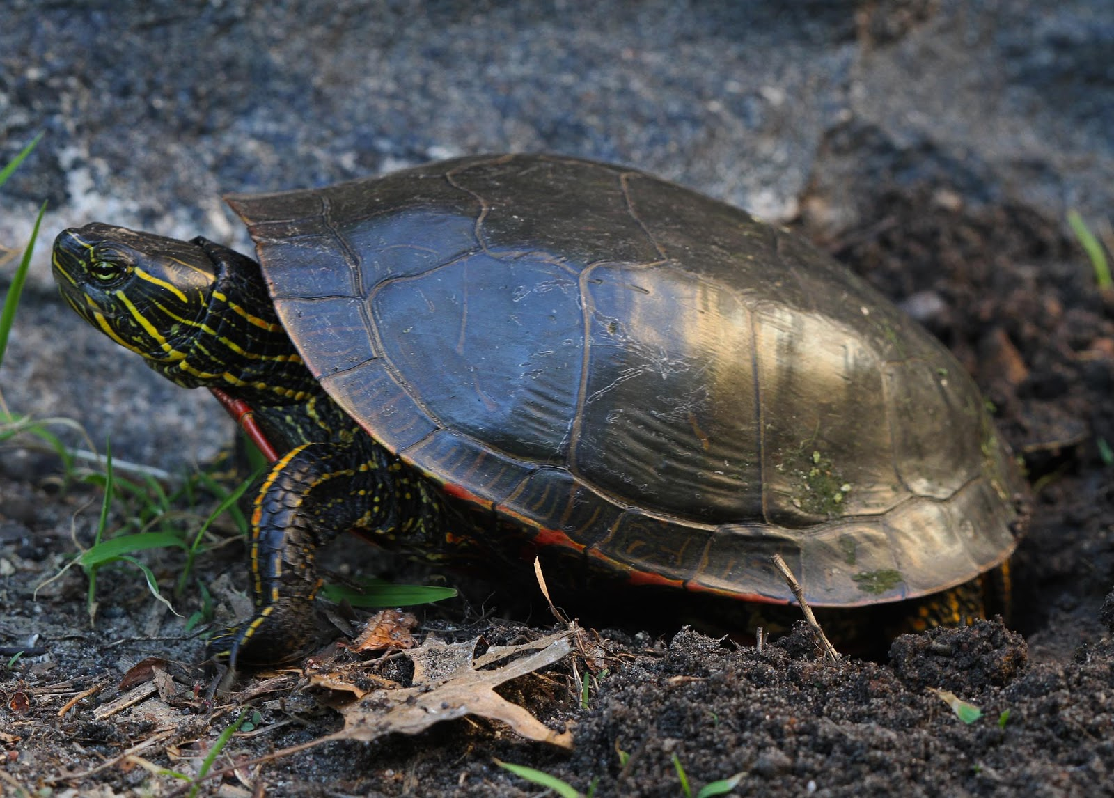 Pictures Of Female Painted Turtles