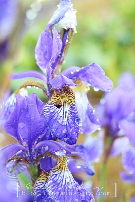 blue iris, ater drops on flowers, water garden pattern flowers, flower patterns, pattern petals