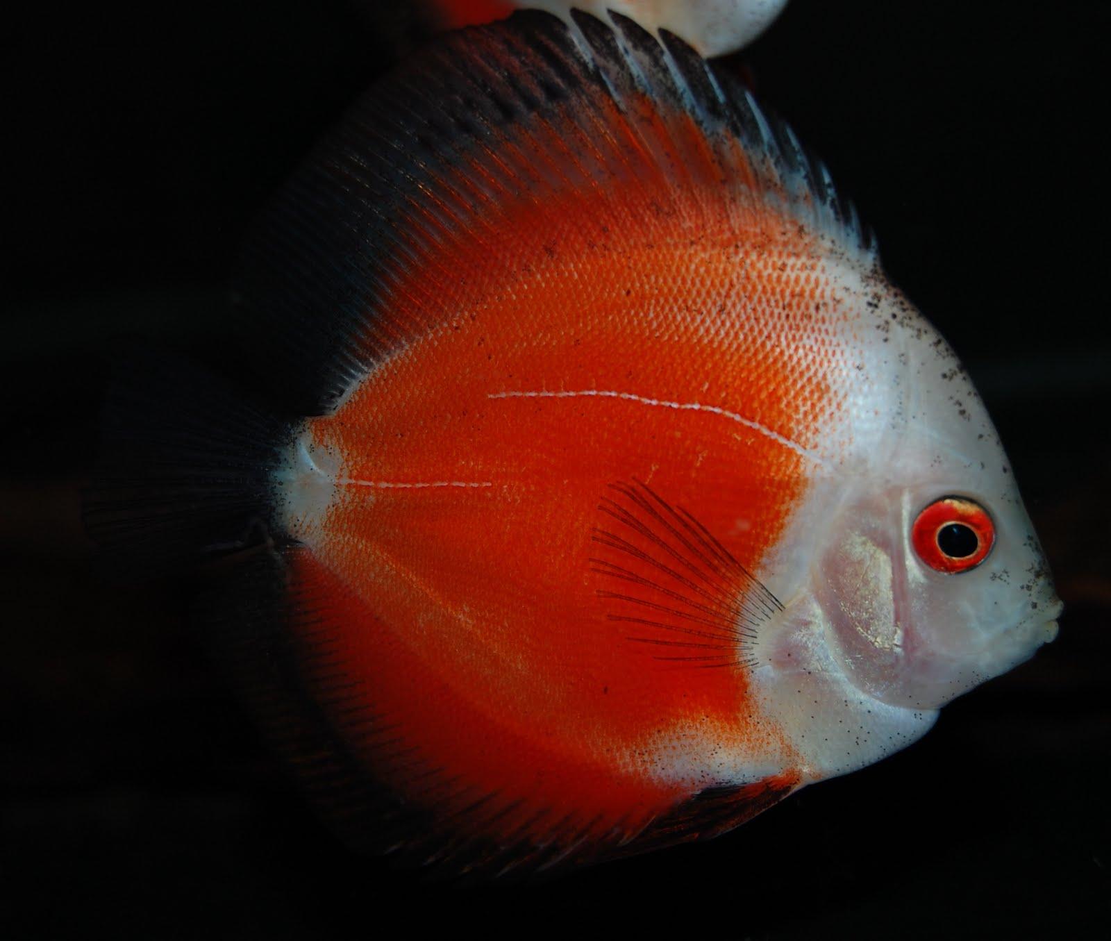 PIER AQUATICS NEW ARRIVALS: Marlboro red discus