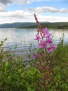 Fireweed at Wonder Lake in Denali National Park