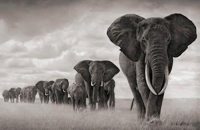 dicas fotos animais elefante