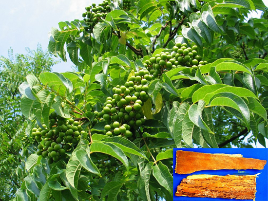 Phellodendron amurense Rupr (Fam. Rutaceae)