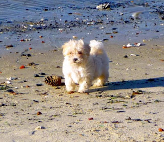 Maltipoo Dog Picture