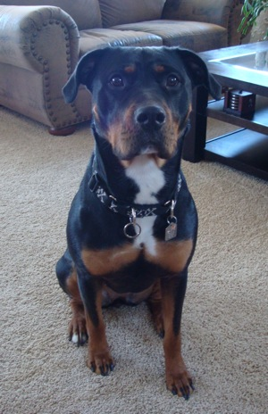Rottweiler Pitbull Mix Breed