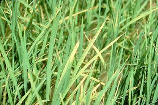 Biểu hiện thiếu kali ở cây lúa