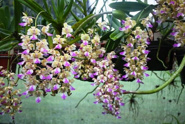 Giáng Hương là dòng lan có tên khoa học Aerides.