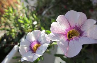 Das Zauberglöckchen (Calibrachoa) gehört zu den robusten Balkonpflanzen